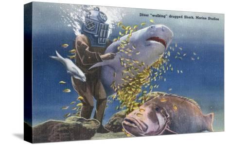 Marineland, Florida - Diver Moving Drugged Shark at Marine Studios-Lantern Press-Stretched Canvas Print