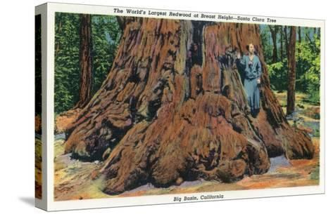 Big Basin, California - Woman Stands by Santa Clara Tree-Lantern Press-Stretched Canvas Print