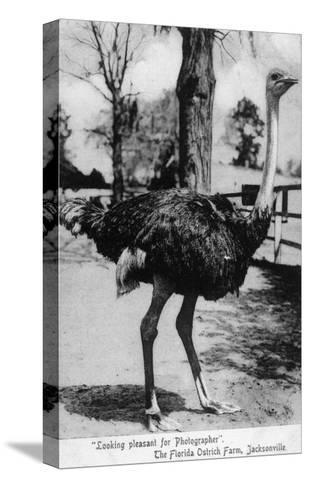 Jacksonville, Florida - Ostrich Farm Scene-Lantern Press-Stretched Canvas Print