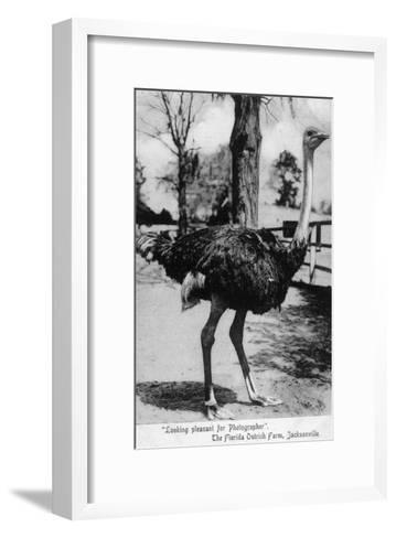 Jacksonville, Florida - Ostrich Farm Scene-Lantern Press-Framed Art Print