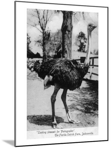 Jacksonville, Florida - Ostrich Farm Scene-Lantern Press-Mounted Art Print