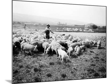 Ellensburg, WA, Goodwin Hogs, 1915-Asahel Curtis-Mounted Giclee Print