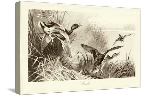 Ducks-A^ Thorburn-Stretched Canvas Print