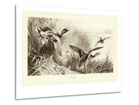 Ducks-A^ Thorburn-Metal Print