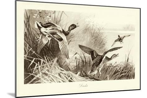 Ducks-A^ Thorburn-Mounted Art Print