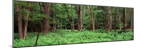 Forest, Adirondack Mountains, Old Forge, Herkimer County, New York State, USA--Mounted Photographic Print