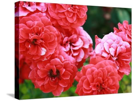 Roses 1-Ryuji Adachi-Stretched Canvas Print