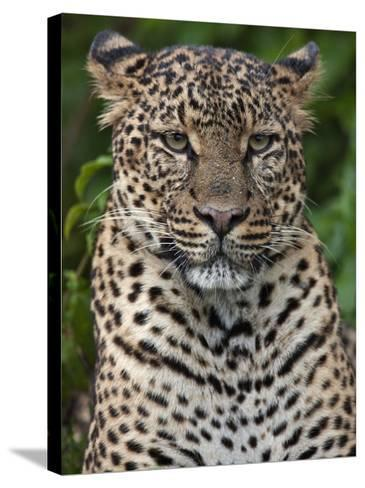 A Fine Leopard Oblivious to Light Rain in the Salient of the Aberdare National Park-Nigel Pavitt-Stretched Canvas Print