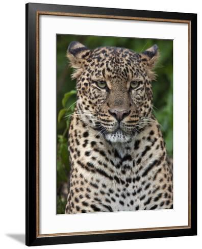 A Fine Leopard Oblivious to Light Rain in the Salient of the Aberdare National Park-Nigel Pavitt-Framed Art Print