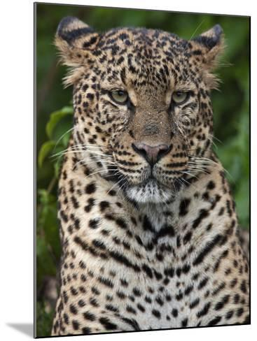 A Fine Leopard Oblivious to Light Rain in the Salient of the Aberdare National Park-Nigel Pavitt-Mounted Photographic Print