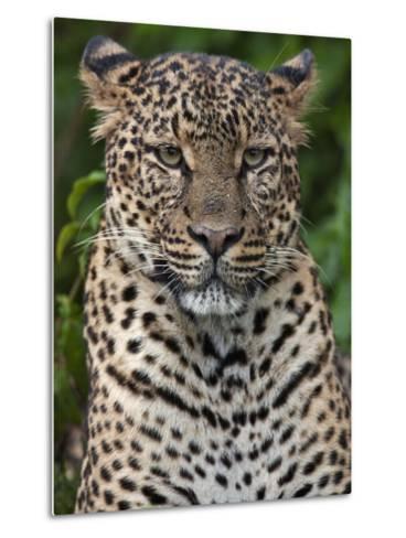 A Fine Leopard Oblivious to Light Rain in the Salient of the Aberdare National Park-Nigel Pavitt-Metal Print