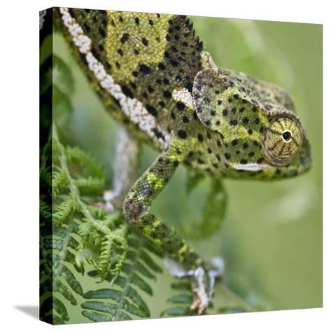 A Female Two-Horned Chameleon in the Amani Nature Reserve-Nigel Pavitt-Stretched Canvas Print