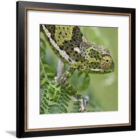 A Female Two-Horned Chameleon in the Amani Nature Reserve-Nigel Pavitt-Framed Art Print