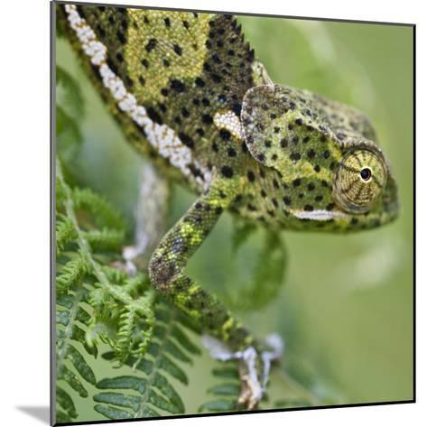 A Female Two-Horned Chameleon in the Amani Nature Reserve-Nigel Pavitt-Mounted Photographic Print