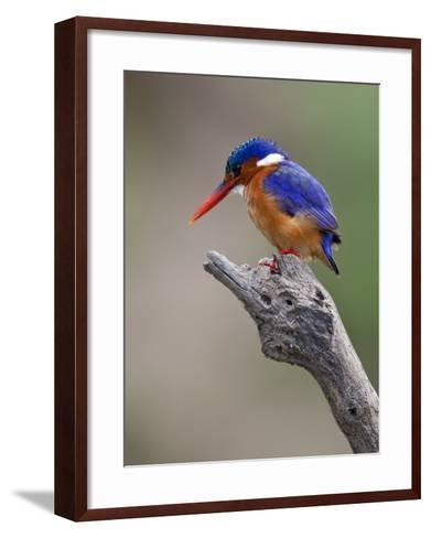 A Beautiful Malachite Kingfisher Perched Overlooking the Rufiji River in Selous Game Reserve-Nigel Pavitt-Framed Art Print