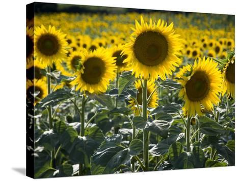 Sunflowers in the Summer; Tuscany, Italy, Europe-Carlos Sanchez Pereyra-Stretched Canvas Print
