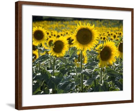 Sunflowers in the Summer; Tuscany, Italy, Europe-Carlos Sanchez Pereyra-Framed Art Print