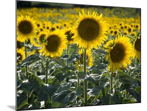 Sunflowers in the Summer; Tuscany, Italy, Europe-Carlos Sanchez Pereyra-Mounted Photographic Print