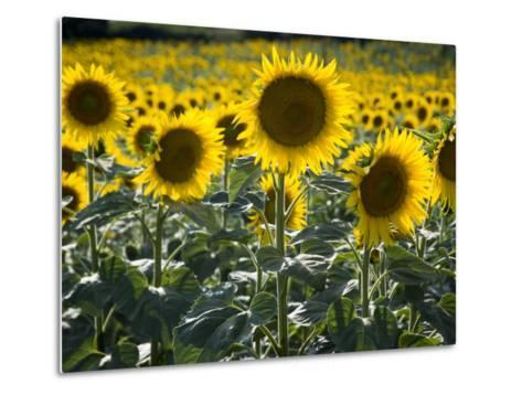 Sunflowers in the Summer; Tuscany, Italy, Europe-Carlos Sanchez Pereyra-Metal Print