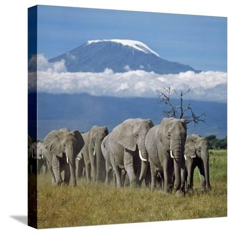 A Herd of Elephants with Mount Kilimanjaro in the Background-Nigel Pavitt-Stretched Canvas Print