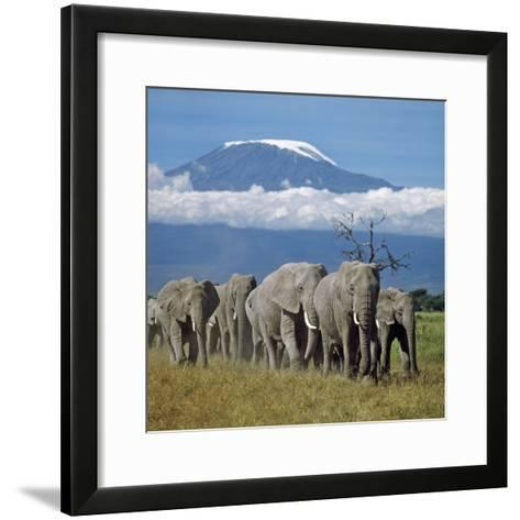 A Herd of Elephants with Mount Kilimanjaro in the Background-Nigel Pavitt-Framed Art Print
