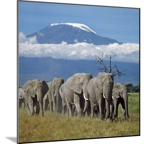 A Herd of Elephants with Mount Kilimanjaro in the Background-Nigel Pavitt-Mounted Photographic Print