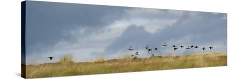 Uk; Yorkshire; a Covey of Grouse Fly Low and Fast over the Heather on Bingley and Ilkley Moor-John Warburton-lee-Stretched Canvas Print
