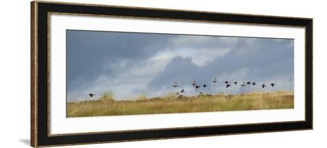 Uk; Yorkshire; a Covey of Grouse Fly Low and Fast over the Heather on Bingley and Ilkley Moor-John Warburton-lee-Framed Art Print