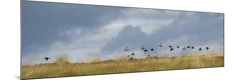 Uk; Yorkshire; a Covey of Grouse Fly Low and Fast over the Heather on Bingley and Ilkley Moor-John Warburton-lee-Mounted Photographic Print