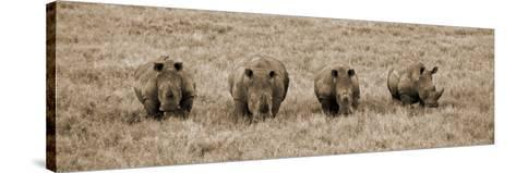 Kenya, Laikipia, Lewa Downs; a Group of White Rhinoceros Feed Together-John Warburton-lee-Stretched Canvas Print