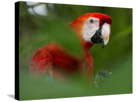 Peru; a Brilliant Scarlet Macaw in the Tropical Forest of the Amazon Basin-Nigel Pavitt-Stretched Canvas Print