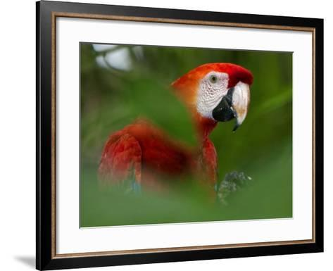 Peru; a Brilliant Scarlet Macaw in the Tropical Forest of the Amazon Basin-Nigel Pavitt-Framed Art Print