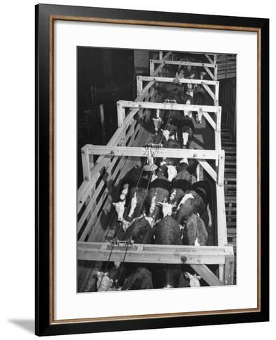 Beef Cattle Walking Down Ramp into Stockyard Pens--Framed Art Print