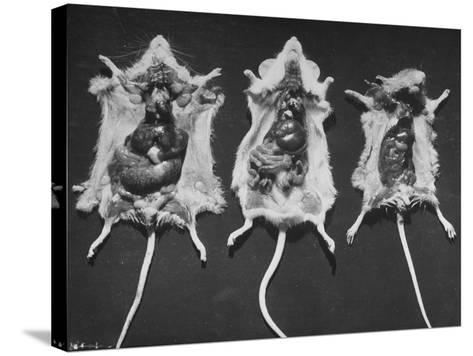 Rats That Were Suffering from Radiation Poison from an Experiment are Shown Here During an Autopsy--Stretched Canvas Print