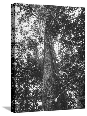Rain Forest, Suriname, Duth Guiana--Stretched Canvas Print