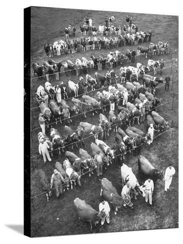 The 100 Nearly Arrayed Cows are the Cream of Curtiss Farm, Five Dairy Breeds--Stretched Canvas Print