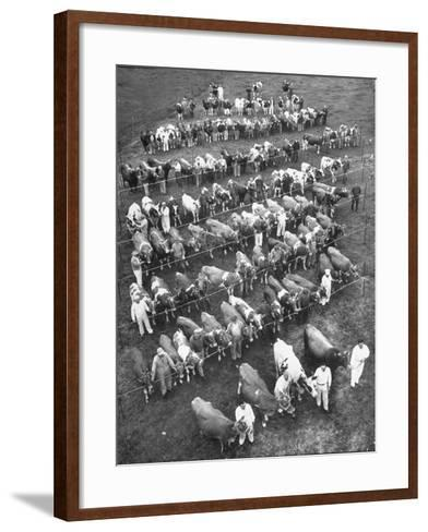 The 100 Nearly Arrayed Cows are the Cream of Curtiss Farm, Five Dairy Breeds--Framed Art Print