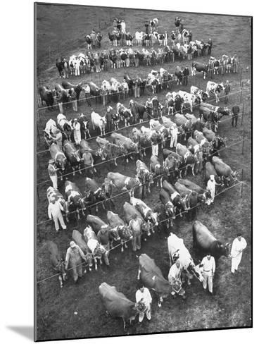 The 100 Nearly Arrayed Cows are the Cream of Curtiss Farm, Five Dairy Breeds--Mounted Photographic Print
