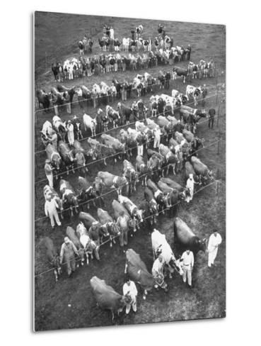 The 100 Nearly Arrayed Cows are the Cream of Curtiss Farm, Five Dairy Breeds--Metal Print