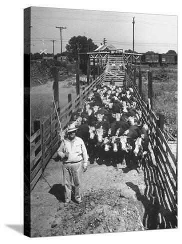 Cattle Being Herded by Farm Workers--Stretched Canvas Print