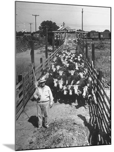 Cattle Being Herded by Farm Workers--Mounted Photographic Print