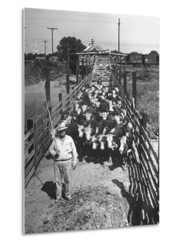 Cattle Being Herded by Farm Workers--Metal Print