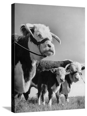 A Bull, a Cow and a Five Day Old Calf, Standing in the Field--Stretched Canvas Print