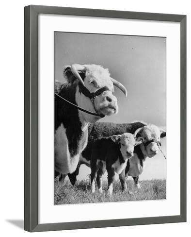 A Bull, a Cow and a Five Day Old Calf, Standing in the Field--Framed Art Print