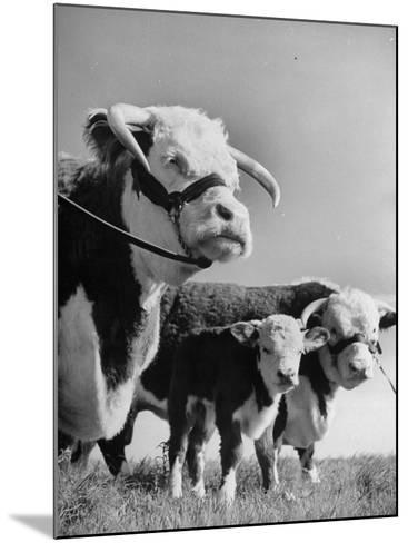 A Bull, a Cow and a Five Day Old Calf, Standing in the Field--Mounted Photographic Print
