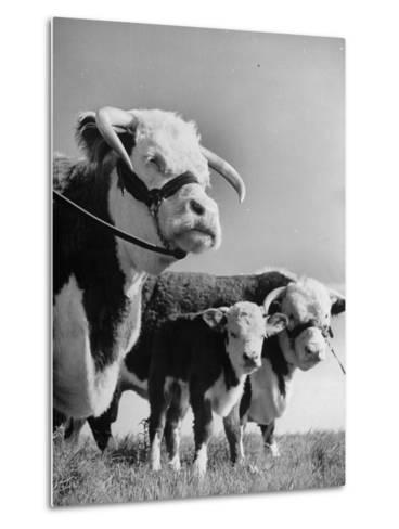 A Bull, a Cow and a Five Day Old Calf, Standing in the Field--Metal Print