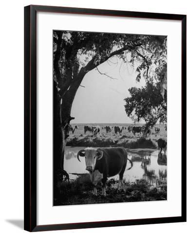 Cattle Grazing in a Pasture Near the Creek on the Ranch--Framed Art Print