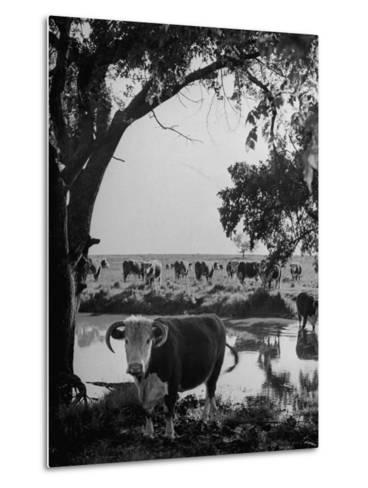 Cattle Grazing in a Pasture Near the Creek on the Ranch--Metal Print