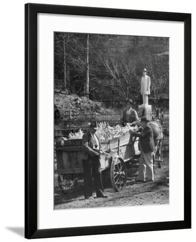 Reagor Motlow and Jess Motlow, Present Owners of Jack Daniels Distillery, Looking over Corn--Framed Art Print