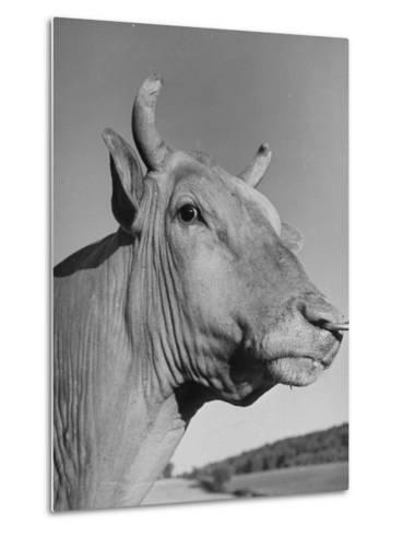A View of a Bull on a Farm--Metal Print